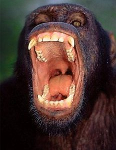 Aggressive male chimpanzee (Credit: Daily Mail)