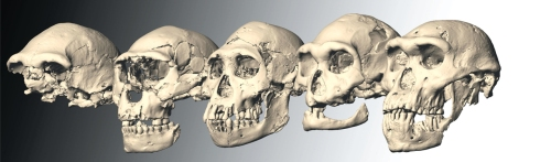 The five Dmanisi skulls of Homo erectus georgicus (credits; M.S. Ponce de Leon & P.E. Zollkofer, University of Zurich)