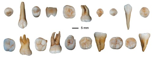 Some of the Daoxian human teeth. (Credit: Song Xing and Xiu-jie Wu of the 1Key Laboratory of Vertebrate Evolution and Human Origins at the Chinese Academy of Sciences