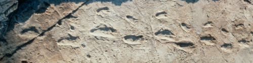 The famous 3.6 Ma old hominin footsteps at Laetoli in Tanzania – Stepping Stones emblematic image. (Credit: Mary Leakey)